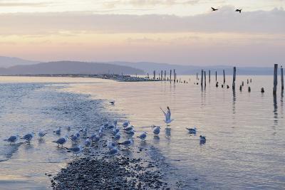 Canada, B.C, Sidney Island. Gulls at Sunset, Gulf Islands National Park Reserve-Kevin Oke-Photographic Print