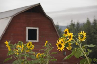 Canada, B.C., Vancouver Island, Cowichan Valley. Sunflowers by a Barn-Kevin Oke-Photographic Print