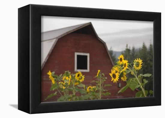 Canada, B.C., Vancouver Island, Cowichan Valley. Sunflowers by a Barn-Kevin Oke-Framed Premier Image Canvas