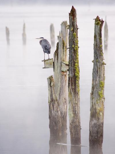 Canada, B.C, Vancouver Island. Great Blue Heron on an Old Piling-Kevin Oke-Photographic Print