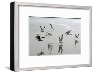 Canada, B.C, Vancouver Island. Gulls Flying on Florencia Beach-Kevin Oke-Framed Art Print