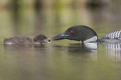 https://imgc.artprintimages.com/img/print/canada-british-columbia-a-common-loon-offers-an-aquatic-insect-to-a-loon-chick-at-lac-le-jeune_u-l-q12t2tr0.jpg?p=0