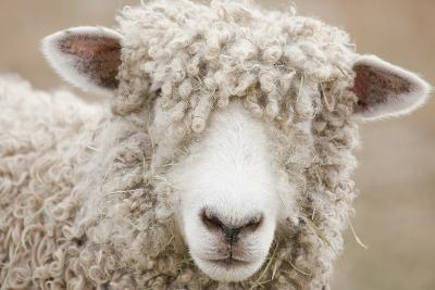 Canada, British Columbia, Fort Steele, Close-Up of a Sheep-Don Paulson Photography-Photographic Print
