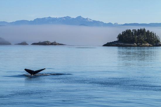 Canada, British Columbia. Humpback whale's tale as it dives, Johnstone Strait.-Brenda Tharp-Premium Photographic Print