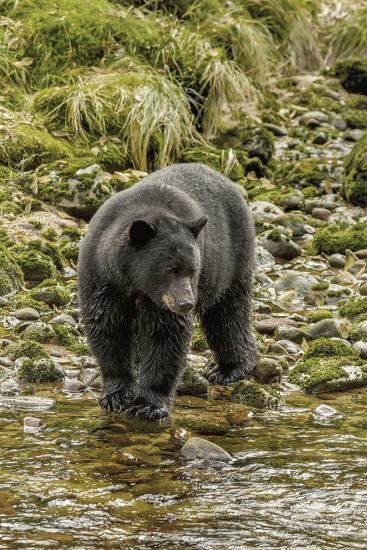 Canada, British Columbia, Inside Passage. Black Bear Fishing on Qua Creek-Jaynes Gallery-Photographic Print
