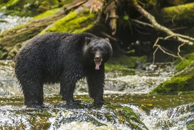 Canada, British Columbia, Inside Passage. Black Bear Fishing on Qua Creek-Jaynes Gallery-Photographic Print