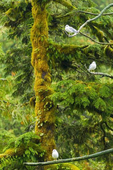 Canada, British Columbia, Inside Passage. Mew Gulls in Tree-Jaynes Gallery-Photographic Print