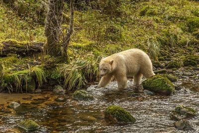 Canada, British Columbia, Inside Passage. White Spirit Bear Hunts for Fish on Riordan Creek-Jaynes Gallery-Photographic Print