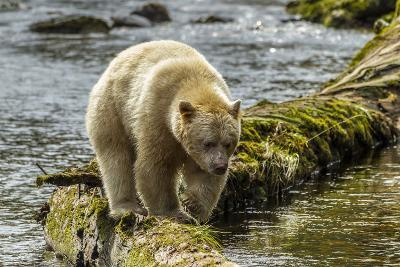 Canada, British Columbia, Inside Passage. White Spirit Bear Hunts for Fish on Riordan Creek-Jaynes Gallery-Photographic Print