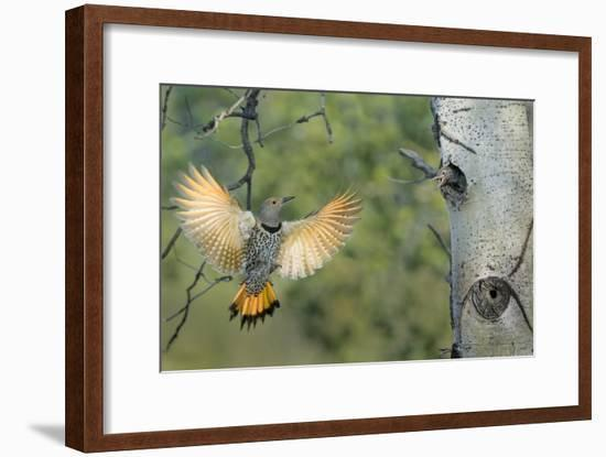 Canada, British Columbia. Northern Flicker flies to nest hole in aspen tree.-Gary Luhm-Framed Photographic Print