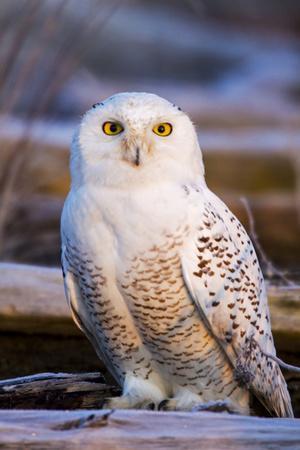 https://imgc.artprintimages.com/img/print/canada-british-columbia-snowy-owl-waiting-for-prey_u-l-q1d5mhc0.jpg?p=0