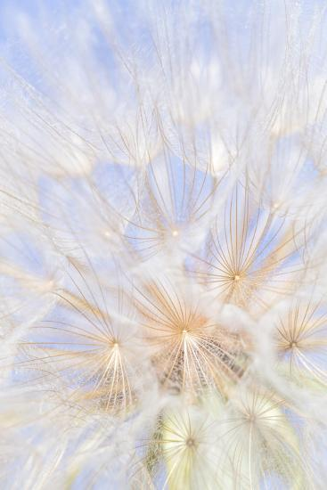 Canada, British Columbia. Yellow salsify flower seeds close-up.-Jaynes Gallery-Photographic Print