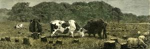 Canada Farm Life Cattle Grazing in Newly Cleared Pasture 1880