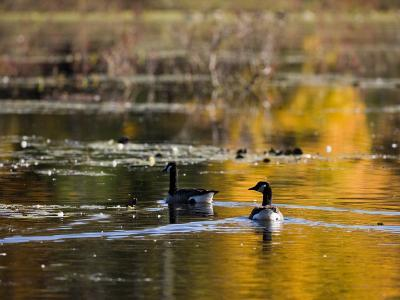 Canada Geese, Ewell Reservation, Rowley, Massachusetts USA-Jerry & Marcy Monkman-Photographic Print