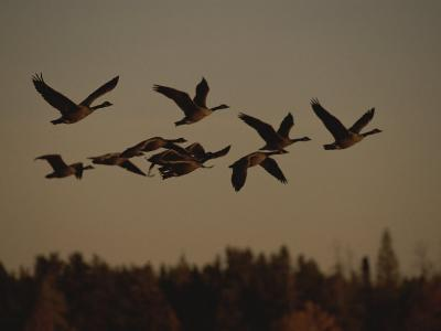 Canada Geese Fly in a Group Through a Goose Sanctuary-Raymond Gehman-Photographic Print