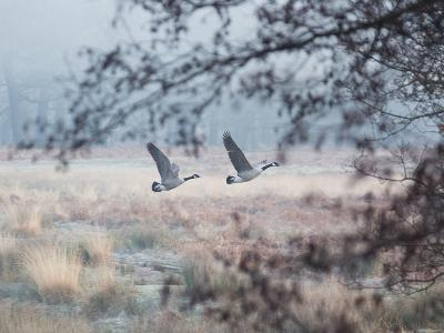 Canada Geese Flying Though a Wintery Richmond Park-Alex Saberi-Photographic Print