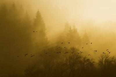 Canada Geese, Foggy Morning Flight-Ken Archer-Photographic Print