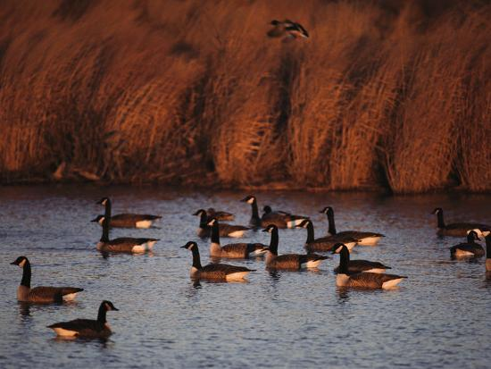 Canada Geese in a Marsh Channel, Chincoteague Island Area, Virginia-Medford Taylor-Photographic Print