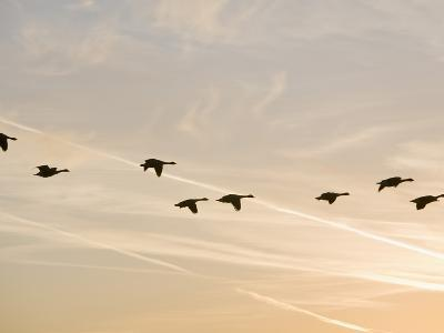 Canada Geese in Flight with Jet Contrails in the Sky Behind-Ashley Cooper-Photographic Print