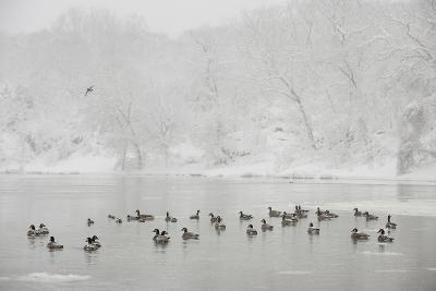 Canada Geese in the Potomac River in a Snowy Landscape-Irene Owsley-Photographic Print