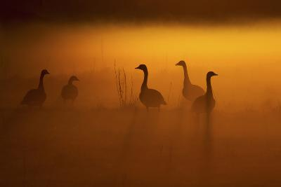 Canada Geese, Misty Dawn-Ken Archer-Photographic Print