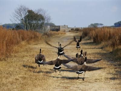 Canada Geese Take Flight along the Fresh Water Marsh Trail-Raymond Gehman-Photographic Print