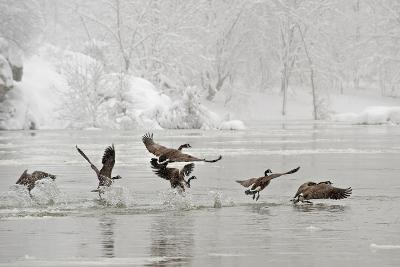 Canada Geese Taking Off from the Potomac River in a Snowy Landscape-Irene Owsley-Photographic Print