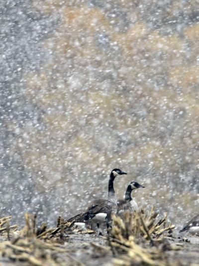 Canada Geese Weather an Autumn Snow Storm in a Corn Field in New Salem, New York--Photographic Print