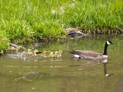Canada Geese with Goslings at Starved Rock State Park Near Utica, Illinois, Usa-Chuck Haney-Photographic Print