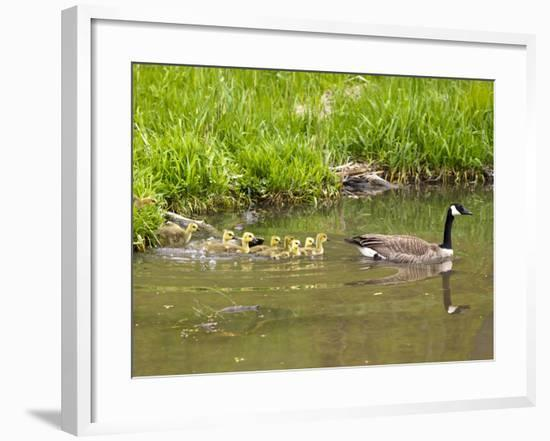 Canada Geese with Goslings at Starved Rock State Park Near Utica, Illinois, Usa-Chuck Haney-Framed Photographic Print