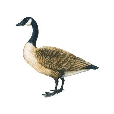 Canada Goose (Branta Canadensis), Birds-Encyclopaedia Britannica-Art Print