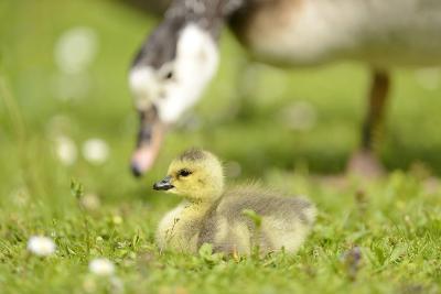 Canada Goose, Branta Canadensis, Fledglings, Meadow, Side View, Lying-David & Micha Sheldon-Photographic Print