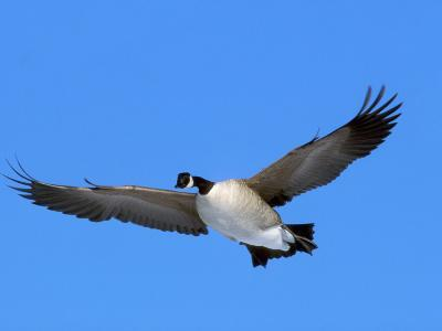 Canada Goose (Branta Canadensis) in Flight, North America-Neal Mishler-Photographic Print