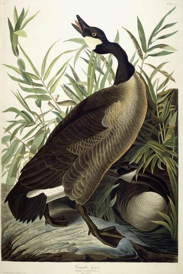 Canada Goose, C.1827-1838-John James Audubon-Giclee Print