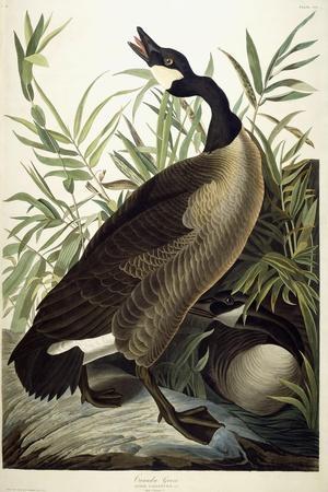 https://imgc.artprintimages.com/img/print/canada-goose-c-1827-1838_u-l-ppe8jr0.jpg?artPerspective=n