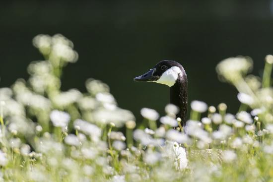 Canada Goose. Europe, Germany, Bavaria-Martin Zwick-Photographic Print