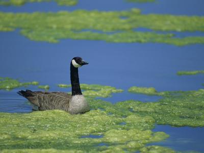 Canada Goose in a Eutrophic Pond, Branta Canadensis, North America-John & Barbara Gerlach-Photographic Print