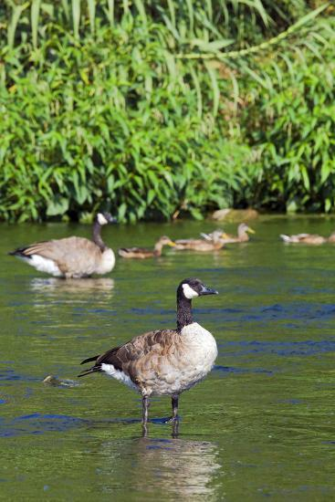 Canada Goose on the Los Angeles River, Los Angeles, California-Peter Bennett-Photographic Print