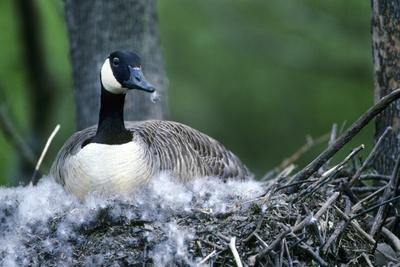 https://imgc.artprintimages.com/img/print/canada-goose-sitting-on-nest-illinois_u-l-q12tdbk0.jpg?p=0