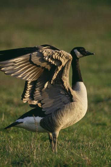 Canada Goose Stretching Wings-DLILLC-Photographic Print