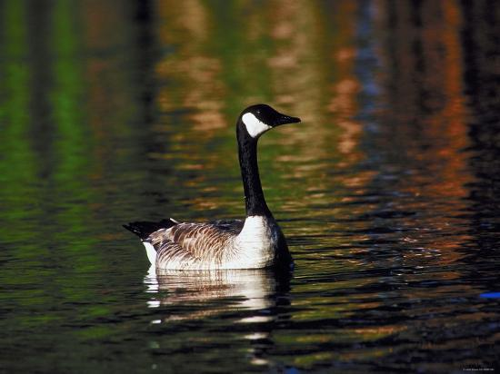 Canada Goose Swimming in Water--Photographic Print