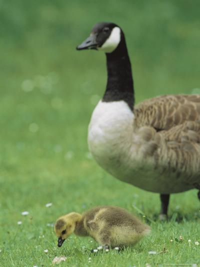 Canada Goose Watches Over Her Gosling as It Feeds on Grass-Norbert Rosing-Photographic Print