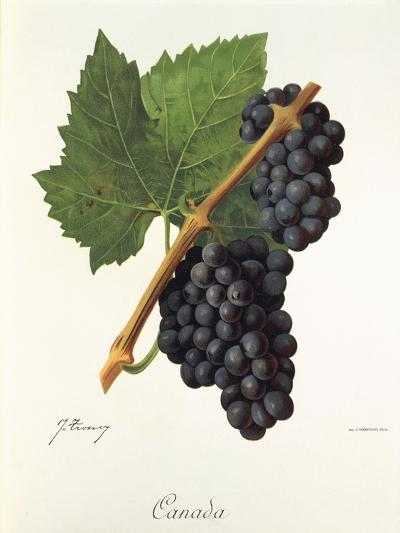 Canada Grape-J. Troncy-Giclee Print