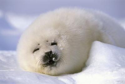 Canada, Iles De La Madeleine Saddle-Seal Pagophilus Groenlandicus Young Sleeps, Series-Frank Lukasseck-Photographic Print