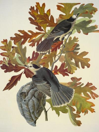 Canada Jay-John James Audubon-Art Print