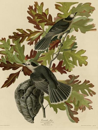 Canada Jay--Giclee Print