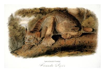 Canada Lynx, 1846-John James Audubon-Giclee Print