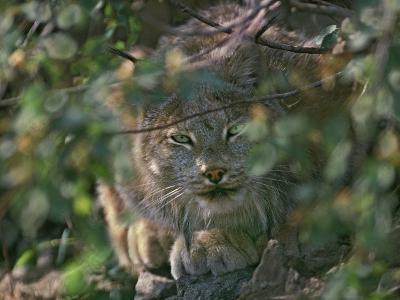 Canada Lynx Hiding in the Brush Preparing to Pounce, Montana, Usa-Tim Fitzharris-Photographic Print
