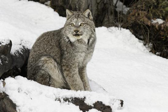 Canada Lynx in winter, Montana-Adam Jones-Premium Photographic Print