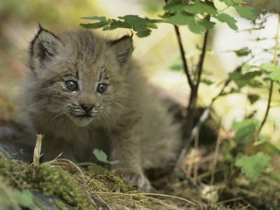 Canada Lynx Kitten, Lynx Canadensis, North America-Joe McDonald-Photographic Print